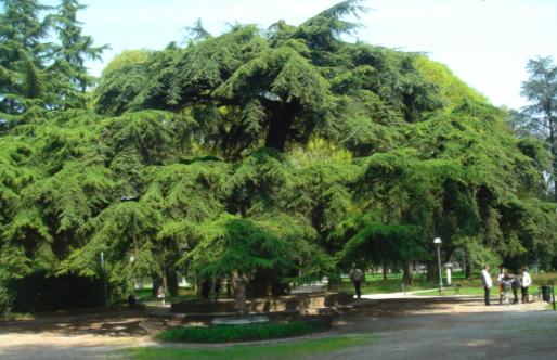 Reggio Emilia > Giardini > Cedro del Libano